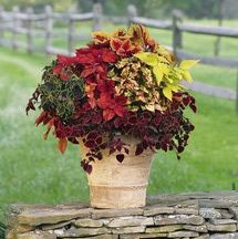 Shade container garden filled with coleus, from a White Flower Farm kit