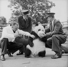 Chi Chi, London's Zoo's Giant Panda, passes her first medical test with flying colours. My great uncle Sam Morton keeps her quiet with a bowl of food, watched by keeper Ted Andrews, while zoo veterinary officer Oliver Graham-Jones checks her heart Zoo Animals, Funny Animals, Chi Chi, Panda Bear, About Uk, Cuddling, Wildlife, Creatures, History
