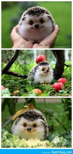 """The Happiest Hedgehog cute animals adorable animal pets baby animals hedgehog fu. - The Happiest Hedgehog cute animals adorable animal pets baby animals hedgehog funny animals: """" Th - Cute Funny Animals, Funny Animal Pictures, Cute Baby Animals, Animals And Pets, Cute Pictures, Funny Pets, Animals Photos, Funny Hamsters, Funniest Pictures"""