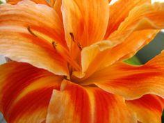 Orange Flower Orange Flowers, Orange Color, Nature Plants, Planting Flowers, Yellow, Rose, Pink, Orange Blossom, Roses