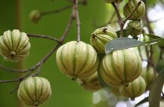 Lose Weight with Garcinia Cambogia? Stop fat production so you can burn fat more quickly. Get a Free Trial of Garcinia Cambogia today! Lose Weight Naturally, Reduce Weight, How To Lose Weight Fast, Weight Loss Plans, Easy Weight Loss, Healthy Weight Loss, Ayurvedic Medicine, Losing 10 Pounds, 5 Pounds
