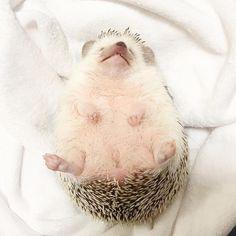 Hedgehog Zen
