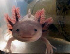 L'étonnant axolotl figure parmi les quelques animaux ayant la possibilité de passer toute leur vie à l'état embryonnaire. Il possède, à l'instar de certains autres urodèles, la capacité de régénérer des parties manquantes de son organisme. © Only alice, Flickr, cc by nc nd 2.0