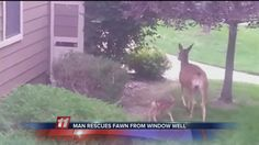 Fawn being rescued, and happy Momma deer!