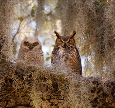 This photo was taken on March 8, 2010 in Highland City, Florida, US; Donald Thompson ~ Mother and Young Horned Owl