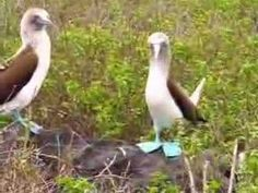 Blue-footed Booby Dance — Now you'll know these birds are real! :D