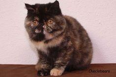 Choclobears Tortoiseshell Exotic Shorthair Kitten- looks just like my Marnie May!