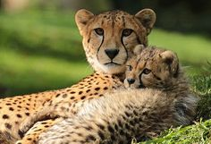 Aziatische cheetah's trekken door diverse reservaten. Lees het hier: http://www.stichtingspots.nl/index.php?page=2811 (Foto: Joke Kok)