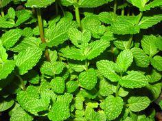 Mentha spicata, menta, yerbabuena o hierbabuena