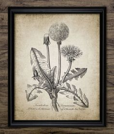 Antique Plant Art Print - Common Dandelion - Dandelion Clock - Leontodon Taraxacum - Botanical Print - Single Print #113 - INSTANT DOWNLOAD  <<<<<<<<<<<<<<<<<<<<INSTANT DOWNLOAD>>>>>>>>>>>>>>>>>>>>  You will receive a high quality JPG digital file of this listing image - 8 x 10 inches (300dpi) Please note that this is a high resolution image and can be easily re-sized to acc...