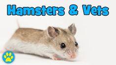 When To Take A Hamster To The Vets - YouTube