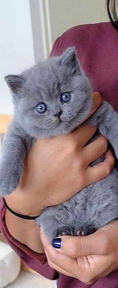 37 Ideas For Cats British Shorthair Grey Kitty Cute Cats And Kittens, I Love Cats, Kittens Cutest, Kitty Cats, Black Kittens, Fluffy Kittens, Fluffy Cat, Cute Baby Animals, Funny Animals
