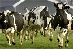 Dancing cows.... Happy Spring!
