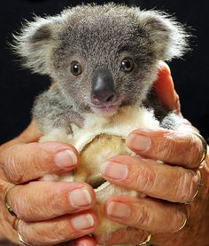 Squeaky the 4-month-old koala was found whimpering in his mother's pouch after she was struck by a car on the Oxley Highway two weeks ago. Luckily, Squeaky was rescued and is slowly recovering at Port Macquarie Koala Hospital in Australia.