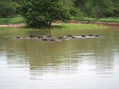 Water buffalo in lake Udawalwe National Park Beautiful Birds, Animals Beautiful, Wild Elephant, Jungle Cat, Water Buffalo, River Bank, Photo Diary, African Safari, Bird Species