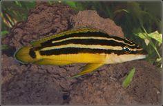 Tanganyika Julidochromis ornatus