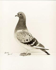 Anthony Bolton ~ Forest Lass, champion des pigeons voyageurs, ca. 1960 [➔ PHOTO MEMORY]