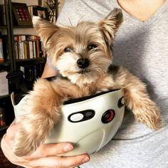 One man's snowboarding Helmet is another dog's chariot. #doglover #dogstagram #dogsofinstagram #dogphotography #smalldogs #yorkie #yorkshireterrier #yorkiesofinstagram #yorkielove #dogsinhelmets #foreverpuppy #yorkiecoco Photo By: iluvdessert bit.ly/teacupdogshq