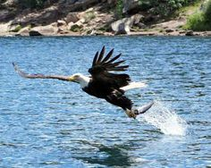 A Bald Eagle, with a successful catch at Woods Canyon Lake (2011).