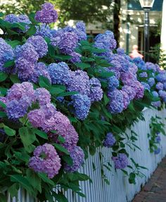 Big Flowers from Bigleaf Hydrangeas Tips for growing hydraneas. The right mix of light, nutrients, and water, plus winter protection can ensure abundant blooms