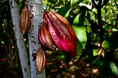 Cabosse de cacao Criollo ( un must rare). United Nations, Street Food, Candle, Foods, Inspiration, Food Food, Biblical Inspiration, Food Items, Candles
