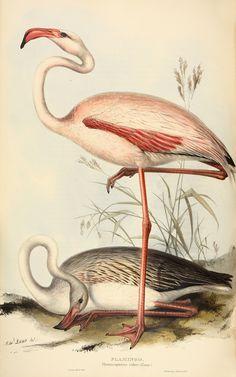 John Gould's Phoenicopterus – flamingo