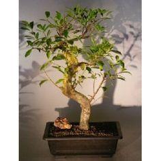 Bonsai Boy's Ficus Retusa Bonsai Tree with Curved Shaped Trunk ficus retusa$250.00: www.amazon.com/Bonsai-Retusa-Curved-Shaped-retusa/dp/B007JVCHMW/?tag=sure9600pneun-20