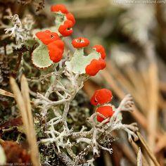 British Soldier Lichens (Cladonia cristatella) by A. Viklund (Arctida)