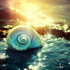 Shea Shell on the Sea Shore