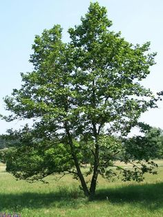 """ALDER This tree was sacred to the Druids. The pith is easily pushed out of green shoots to make whistles. Several shoots bound together by cordage, can be trimmed to the desired length for producing the note you want and used to entice Air elementals. The old superstition of """"whistling up the wind"""" began with this custom."""