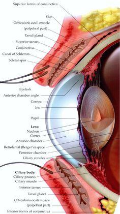 human eye and orbital anatomy, superior view #anatomy | skull, Muscles