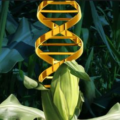 As U.S. Department of Agriculture keeps CRISPR-edited crops unregulated, DuPont Pioneer circles CRISPR-edited corn for the market. Will this become a growing trend among Big Ag? Or will USDA change its mind about CRISPR-edited food?