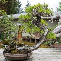 Black pine grafted on ponderosa
