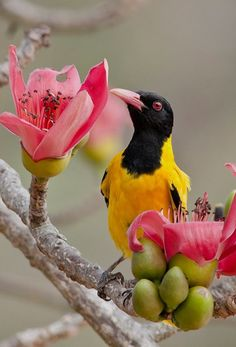 Black-hooded orioles are resident breeders in tropical S Asia from India and Sri Lanka E to Indonesia, preferring open woodland and cultivated lands. (Subramanian Chockalingam)