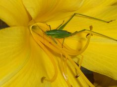 Green Bug and Yellow Daylilly by T'ai Li, via Flickr