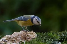 #bird #blue tit #cyanistes caeruleus #foraging #garden #tit