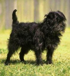 Affenpinscher photos and wallpapers. The beautiful Affenpinscher pictures Black Dogs Breeds, Dog Breed Info, Popular Dog Breeds, Fluffy Dogs, Dog Bones, Puppy Breeds, Dog Breeders, Old Dogs, Dog Photos
