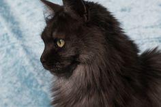2 Januari 2016. 4 Jaar en 3 maand oud. Maine Coon Maine Coon, Panther, Cats, Animals, Gatos, Animales, Animaux, Panthers, Animal