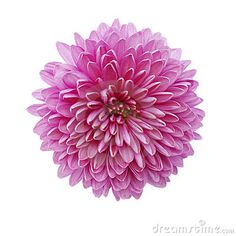 Pink chrysanthemum flower isolated on white by Artistas, via Dreamstime