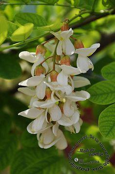 Des notes florales d'acacia