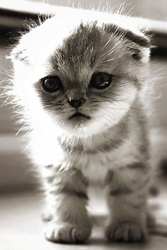 Scottish Fold kitten. Seriously? I mean, is it really fair to be THAT cute???