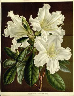 Louis van Houtte-Flore des serres v15, 041a