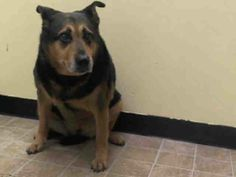 SAFE!  4/7/14 Manhattan Center   NENA - A0606962  *** RETURNED ON 4/7/14 ***  SPAYED FEMALE, BLACK / TAN, GERM SHEPHERD / ROTTWEILER, 12 yrs OWNER SUR - EVALUATE, HOLD FOR ID Reason LLORDPRIVA  Intake condition NONE Intake Date 04/07/2014, From NY 10468, DueOut Date ,  https://www.facebook.com/photo.php?fbid=783768744969340&set=a.617942388218644.1073741870.152876678058553&type=3&theater