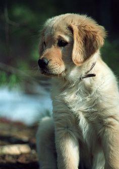 Sadie the golden retriever puppy