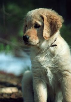 Sadie the golden retriever puppy