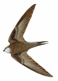 Vencejo pálido | SEO/BirdLife Swift Bird, I Like Birds, Bird Illustration, Illustrations, Wild Creatures, Animals Beautiful, Habitats, Swallows, Artwork