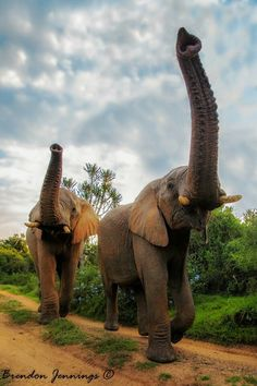 Trumpeting elephants ..