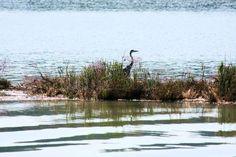 heron in Antenal, Novigrad, Croatia
