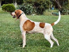 Redtick Coonhound