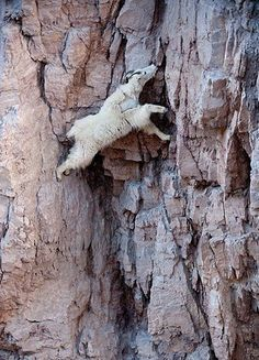 Climbing mountain goat. If he can do it I can. St. Helens and Mt Rainer will be climbed in 2012